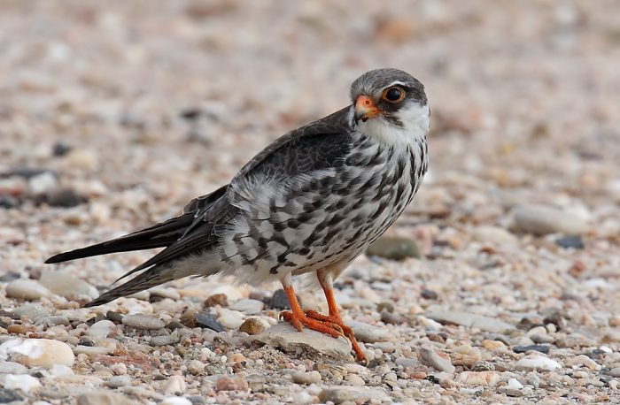 Амурский или восточный, кобчик (Falco amurensis) фото