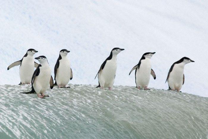 Антарктический пингвин (Pygoscelis antarctica) фото