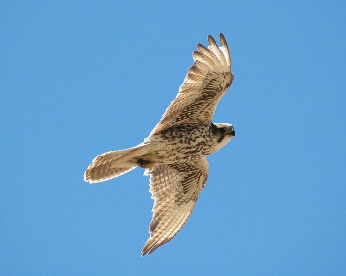 Аралокаспийский балабан (Falco cherrug aralocaspius) фото