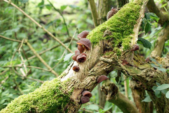 Интересные факты о грибе аурикулярия фото