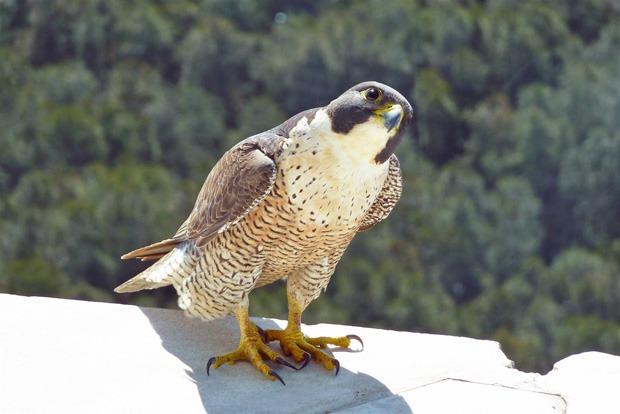 Сапсан Falco peregrinus cassini Sharpe фото
