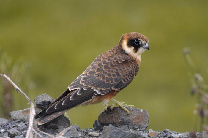 Австралийский чеглок (Falco longipennis) фото