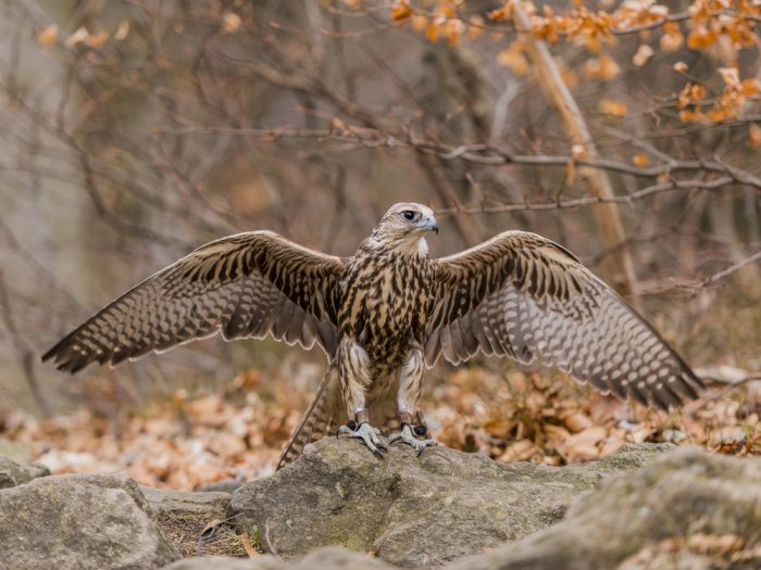 Монгольский балабан (Falco cherrug milvipes) фото