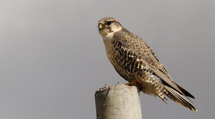 Обыкновенный балабан (Falco cherrug cherrug) фото