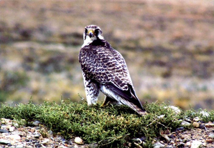 Сибирский балабан (Falco cherrug saceroides) фото