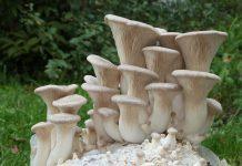 Белый степной гриб еринги фото