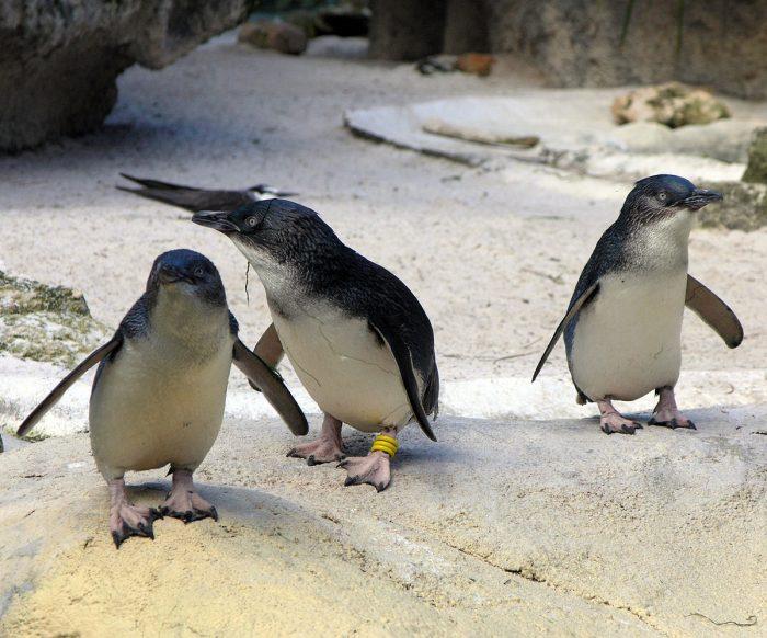 Белокрылый пингвин (Eudyptula albosignata) фото