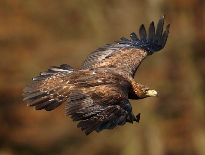 Беркут фото (Aquila chrysaetos)