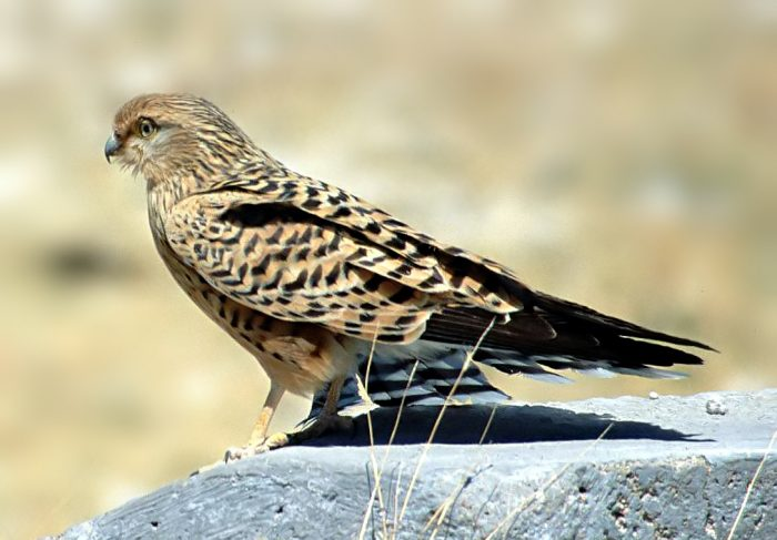 Большая пустельга (Falco rupicoloides) фото