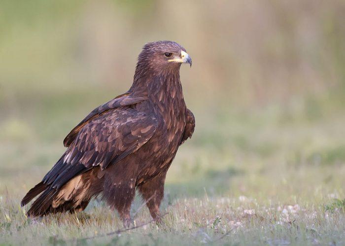 Большой подорлик (Aquila clanga) фото