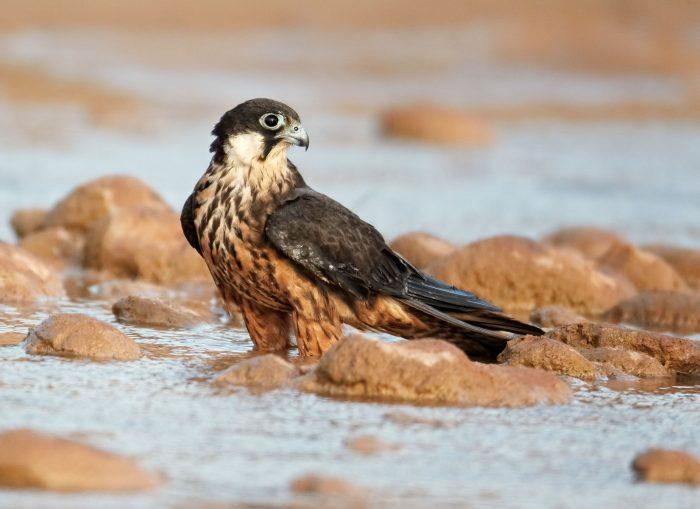 Чеглок Элеоноры или алет, или сокол Элеоноры (Falco eleonorae) фото