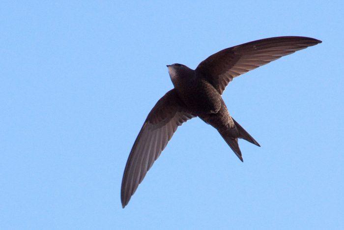 Чёрный или башенный стриж (Apus apus) фото