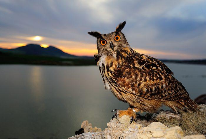 Картинки по запросу Филин – очень интересная ночная хищная птица
