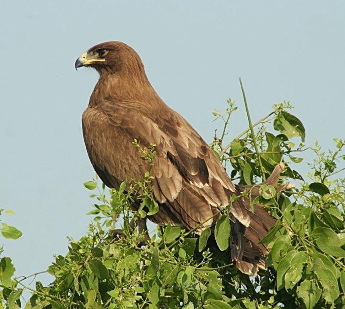 Индийский подорлик (Aquila hastata) фото