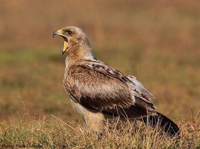 Индийский подорлик (Aquila hastata) птица фото