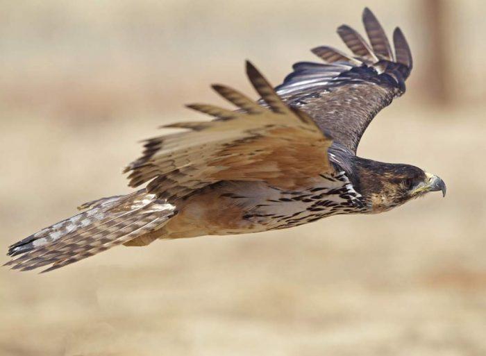 Индийский ястребиный орёл (Aquila kienerii) фото