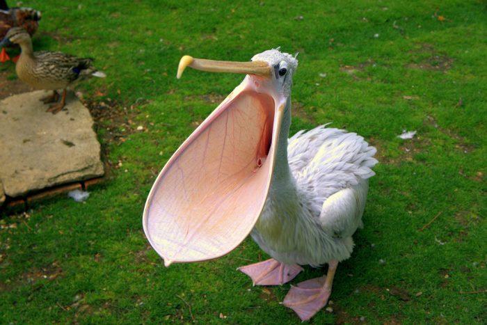 Интересные факты о пеликане фото