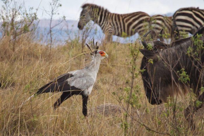Интересные факты о птице-секретарь фото