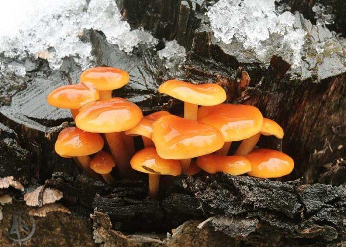 Интересные факты о зимнем грибе фото