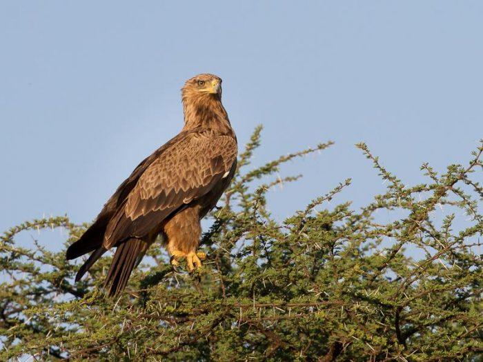 Каменный орёл (Aquila rapax) фото