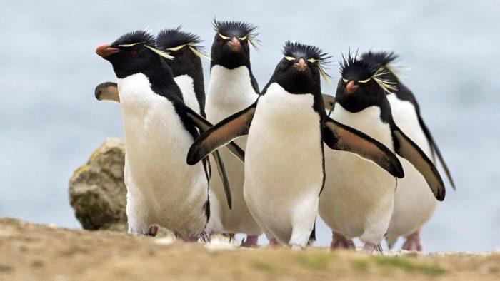 Хохлатый или скалистый золотоволосый пингвин (Eudyptes chrysocome) фото