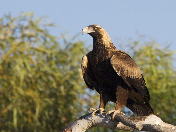 Клинохвостый орёл (Aquila audax) фото