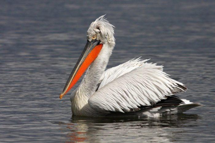 Кудрявый пеликан (Pelecanus crispus) фото