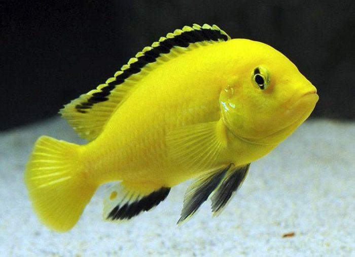 Подробное описание рыбки лабидохромис еллоу или желтой цихлиды