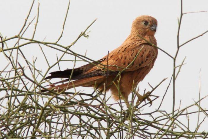Лисья пустельга (Falco alopex) фото