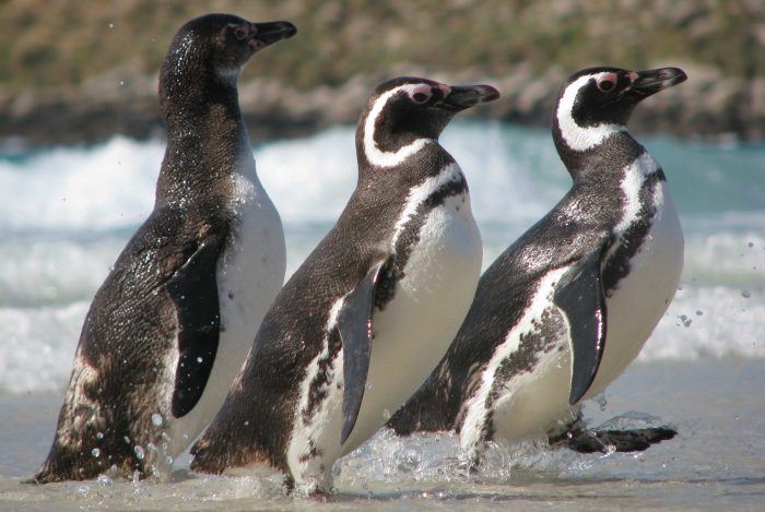 Магелланов пингвин (Spheniscus magellanicus) фото