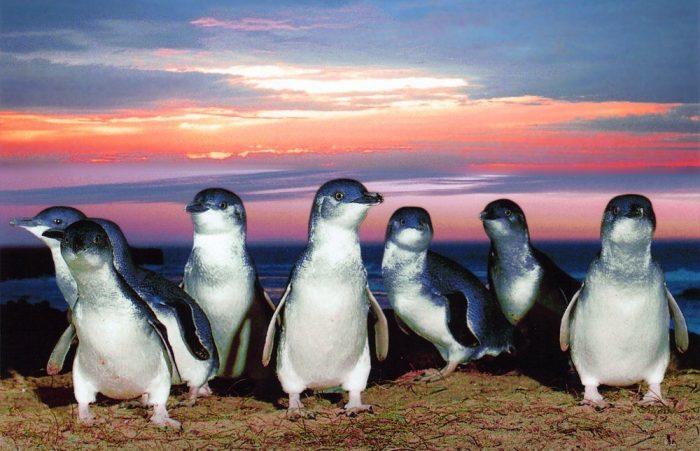 Малый пингвин (Eudyptula minor) фото