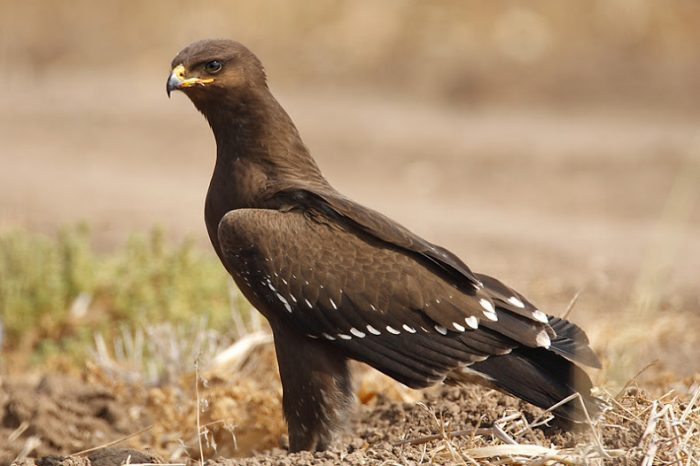 Малый подорлик (Aquila pomarina) птица фото