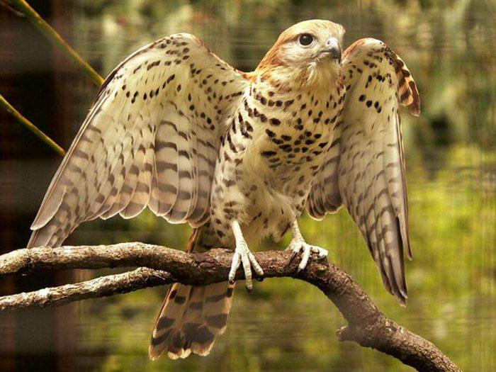 Маврикийская пустельга (Falco punctatus) фото
