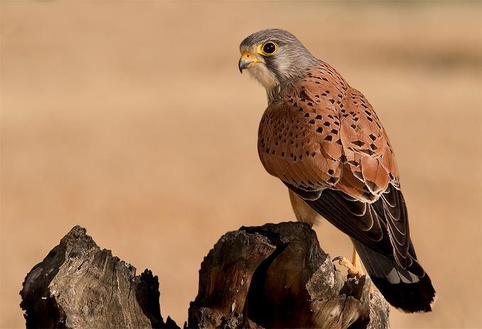 Обыкновенная пустельга (Falco tinnunculus) фото