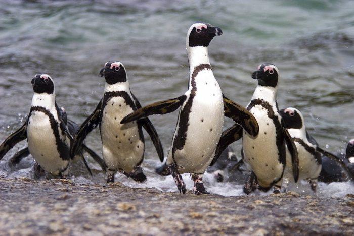 Очковый пингвин (Spheniscus demersus) фото