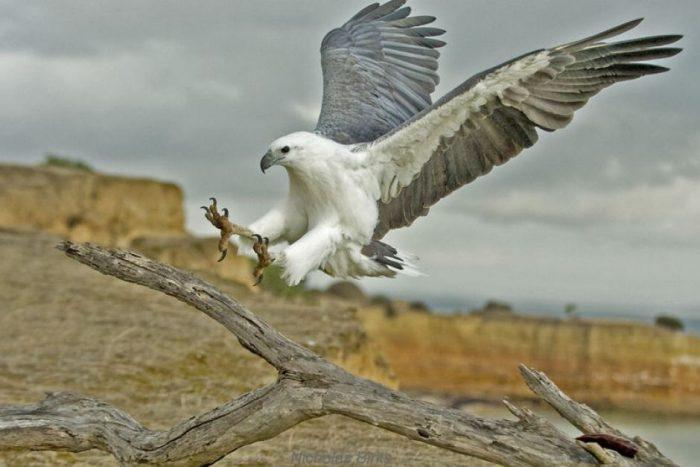 Описание орлана фото