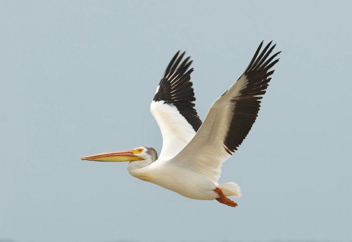 Описание пеликана фото