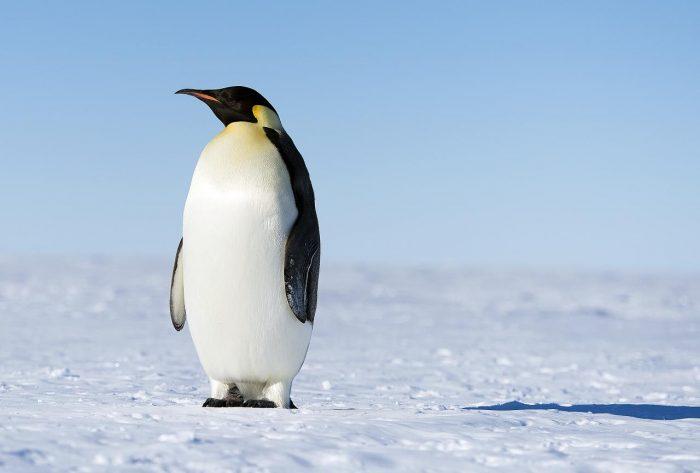 Описание пингвина фото