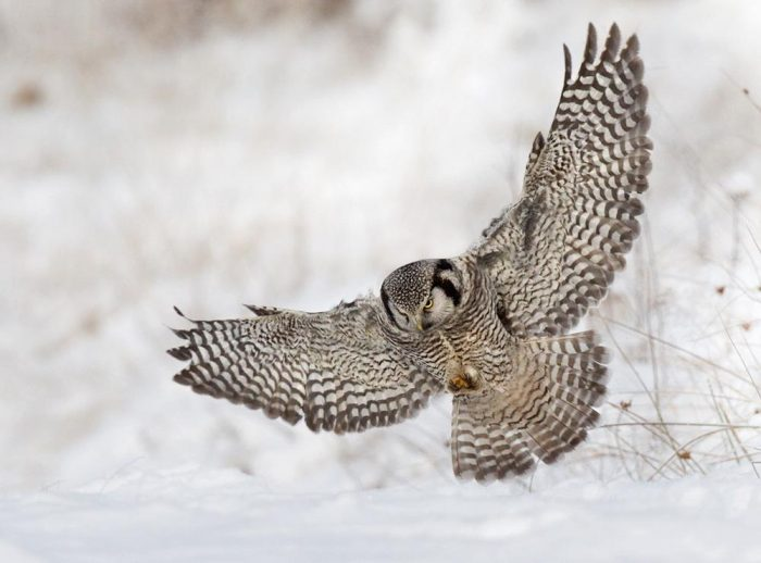 Описание ястребиной совы фото