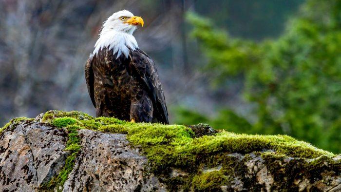 Птица орел. Образ жизни и среда обитания орла