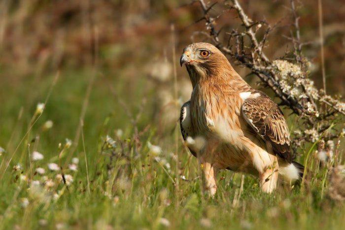 Орёл-карлик (Aquila pennata) фото