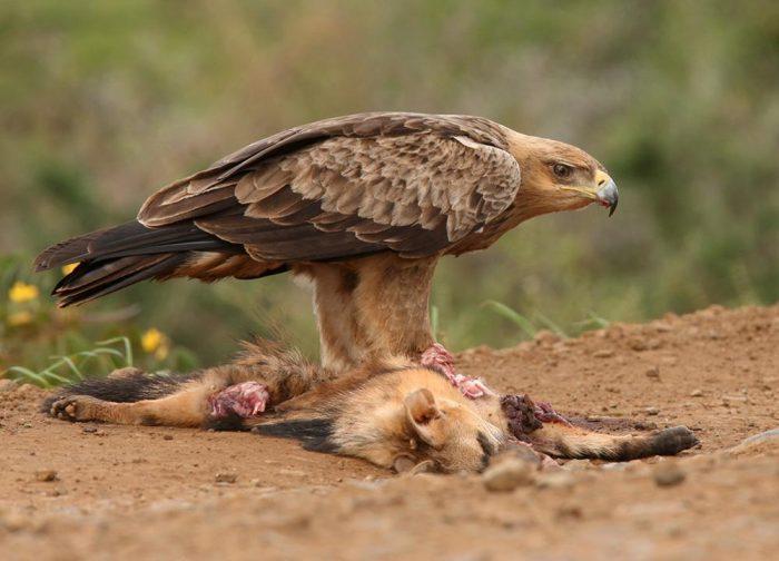Особенности питания орла фото