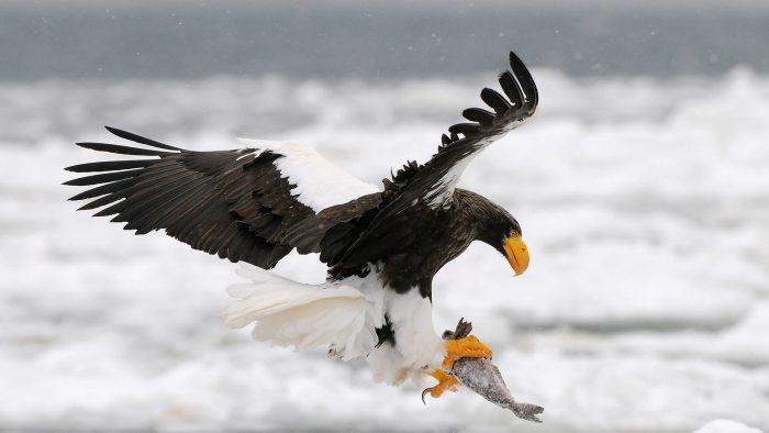 Особенности питания орлана фото