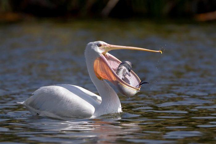 Особенности питания пеликана фото