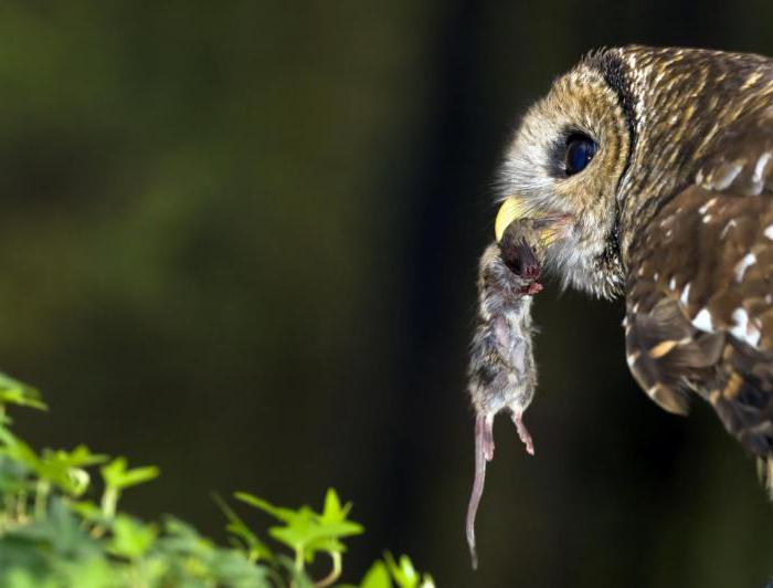 Особенности питания воробьиного сыча фото