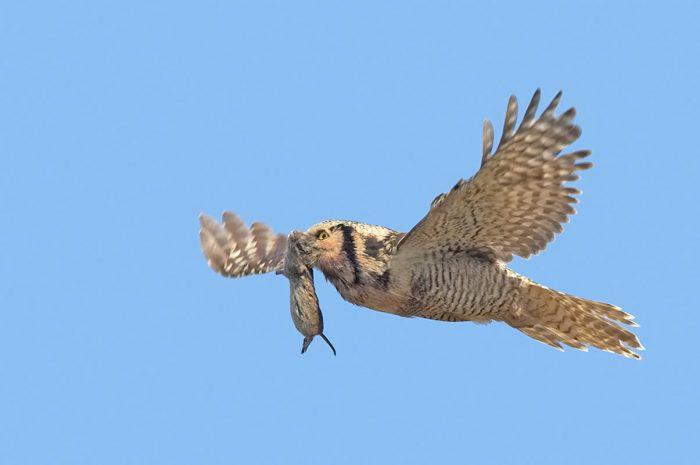 Особенности питания ястребиной совы фото