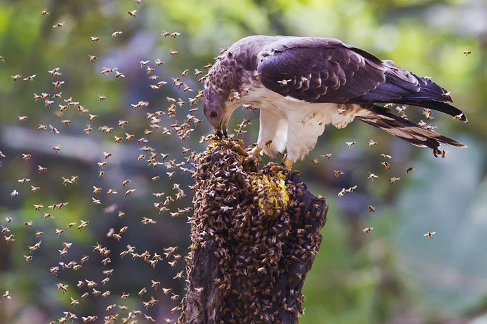 Осоед Птицы Самарской области