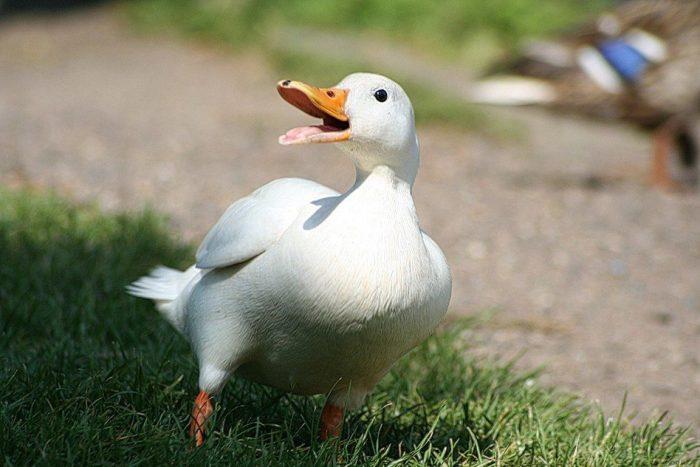 Пекинская утка (Pekin Duck) фото