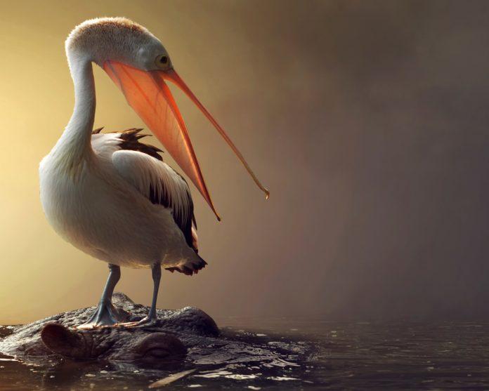 Пеликан фото