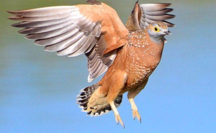 Перелетная ли птица рябок фото